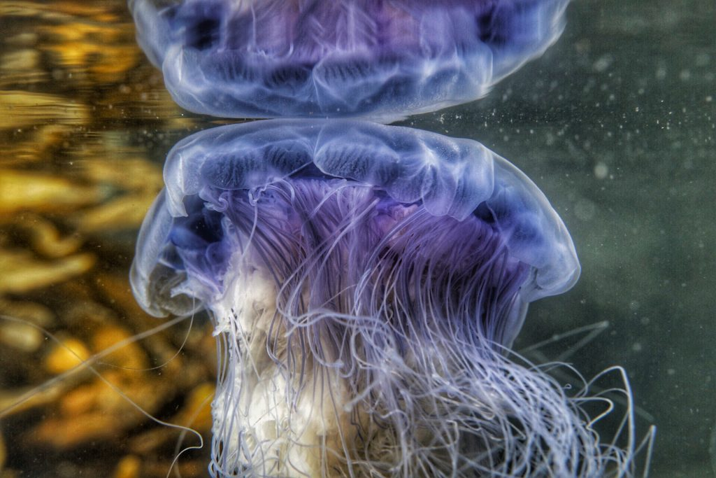 Gill Williams photography jellyfish